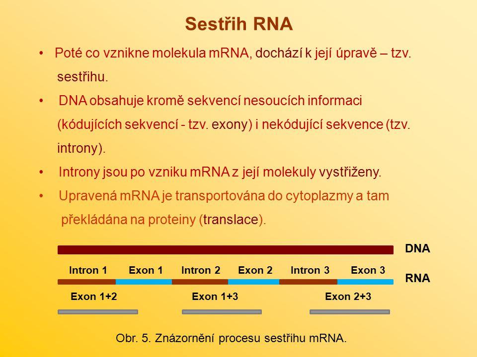 Poté co vznikne molekula mRNA, dochází k její úpravě – tzv. sestřihu. DNA obsahuje kromě sekvencí nesoucích informaci (kódujících sekvencí - tzv. exon