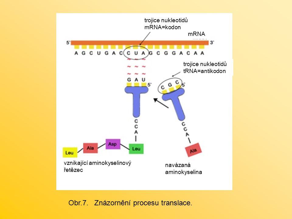 trojice nukleotidů mRNA=kodon trojice nukleotidů tRNA=antikodon vznikající aminokyselinový řetězec navázaná aminokyselina mRNA Obr.7. Znázornění proce