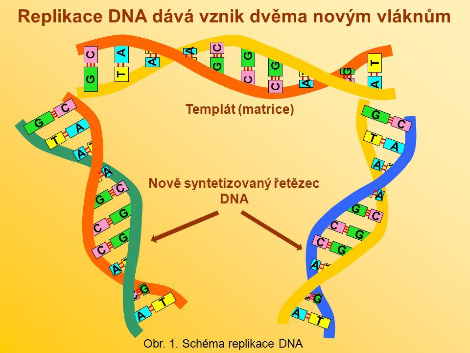 Replikace DNA dává vznik dvěma novým vláknům Obr. 1. Schéma replikace DNA A T T G G C GT A C G C T A A C C A T G A T T G G C G T A C G C T A A C C A T