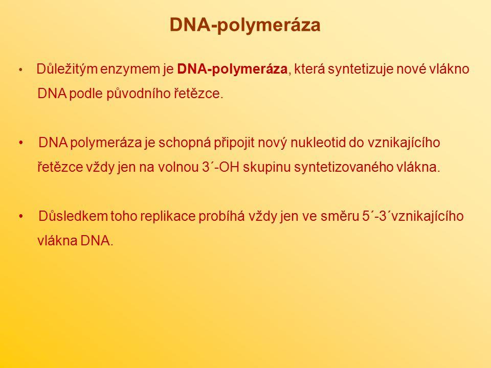 DNA-polymeráza Důležitým enzymem je DNA-polymeráza, která syntetizuje nové vlákno DNA podle původního řetězce. DNA polymeráza je schopná připojit nový