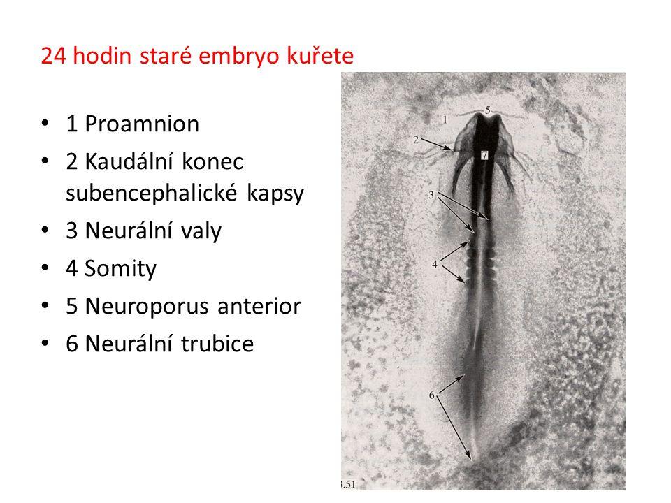 24 hodin staré embryo kuřete 1 Proamnion 2 Kaudální konec subencephalické kapsy 3 Neurální valy 4 Somity 5 Neuroporus anterior 6 Neurální trubice