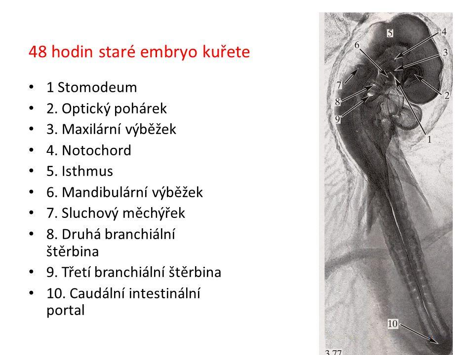 48 hodin staré embryo kuřete 1 Stomodeum 2. Optický pohárek 3. Maxilární výběžek 4. Notochord 5. Isthmus 6. Mandibulární výběžek 7. Sluchový měchýřek
