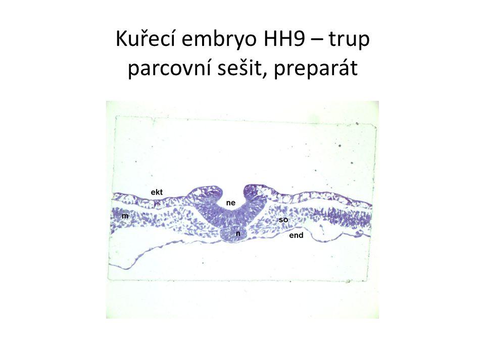 Kuřecí embryo HH9 – trup parcovní sešit, preparát