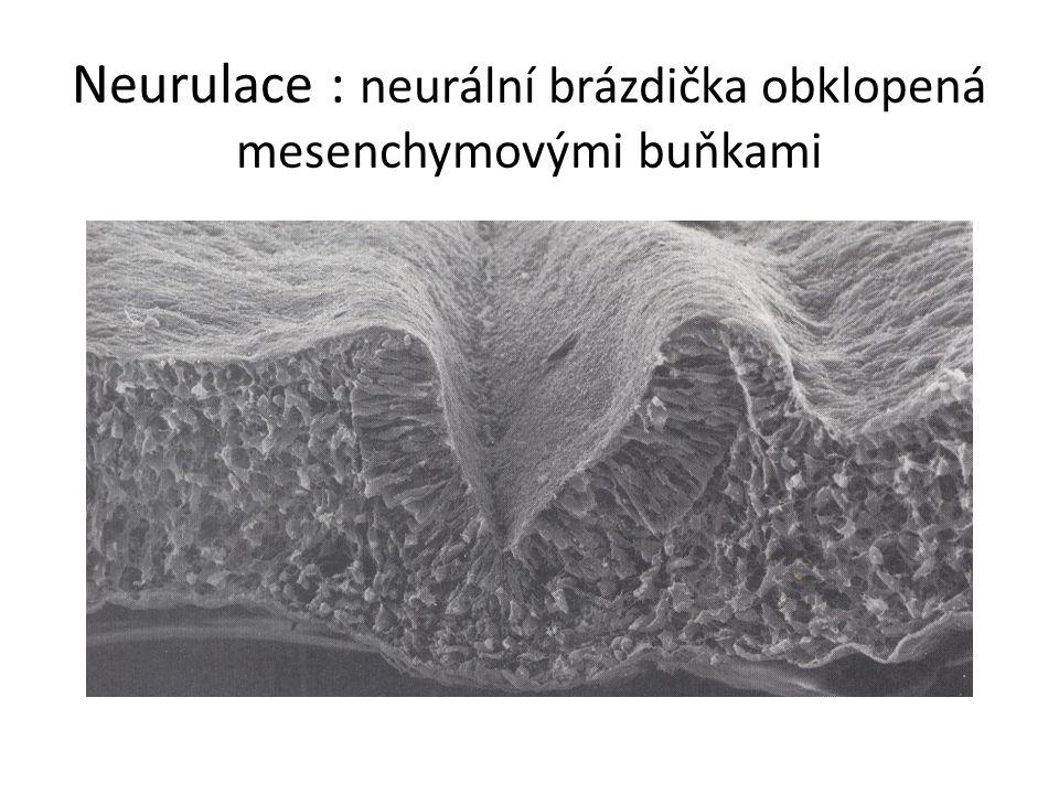 Neurulace : neurální brázdička obklopená mesenchymovými buňkami