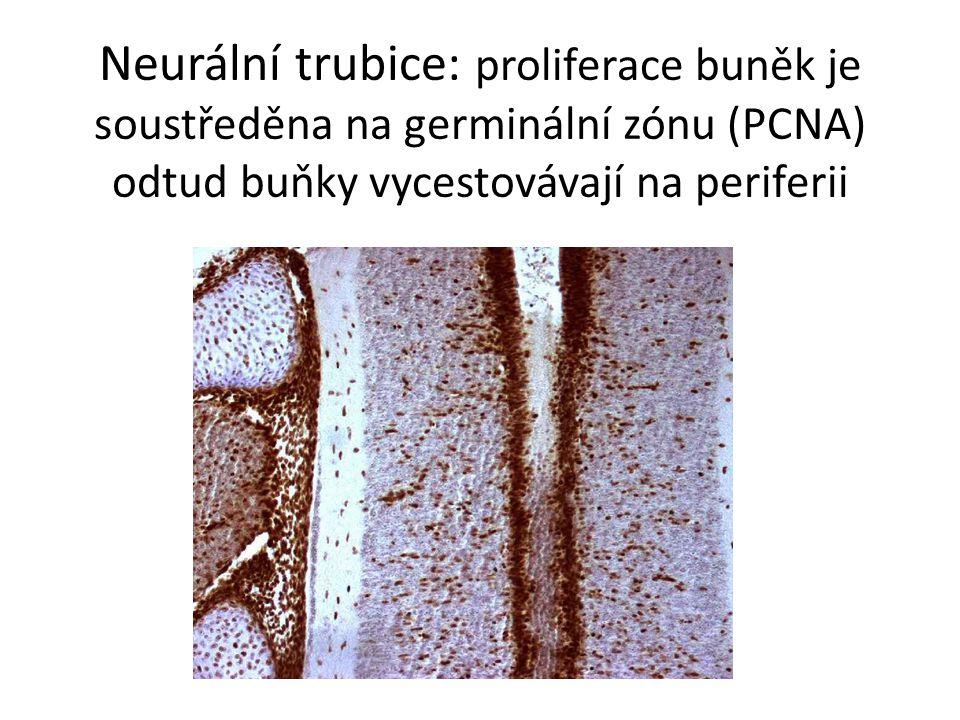 Neurální trubice: proliferace buněk je soustředěna na germinální zónu (PCNA) odtud buňky vycestovávají na periferii