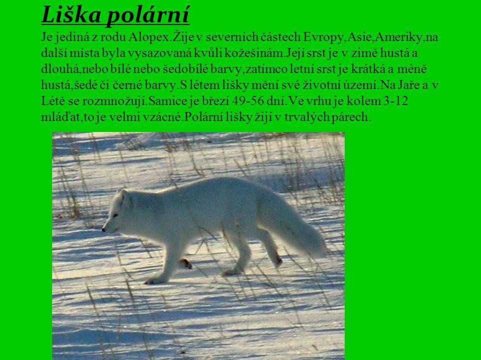 Liška polární Je jediná z rodu Alopex.Žije v severních částech Evropy,Asie,Ameriky,na další místa byla vysazovaná kvůli kožešinám.Její srst je v zimě