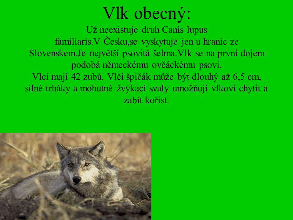 Vlk obecný: Už neexistuje druh Canis lupus familiaris.V Česku,se vyskytuje jen u hranic ze Slovenskem.Je největší psovitá šelma.Vlk se na první dojem