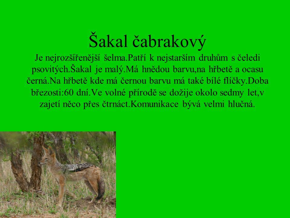 Šakal čabrakový Je nejrozšířenější šelma.Patří k nejstarším druhům s čeledi psovitých.Šakal je malý.Má hnědou barvu,na hřbetě a ocasu černá.Na hřbetě