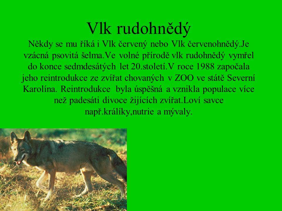 Vlk rudohnědý Někdy se mu říká i Vlk červený nebo Vlk červenohnědý.Je vzácná psovitá šelma.Ve volné přírodě vlk rudohnědý vymřel do konce sedmdesátých