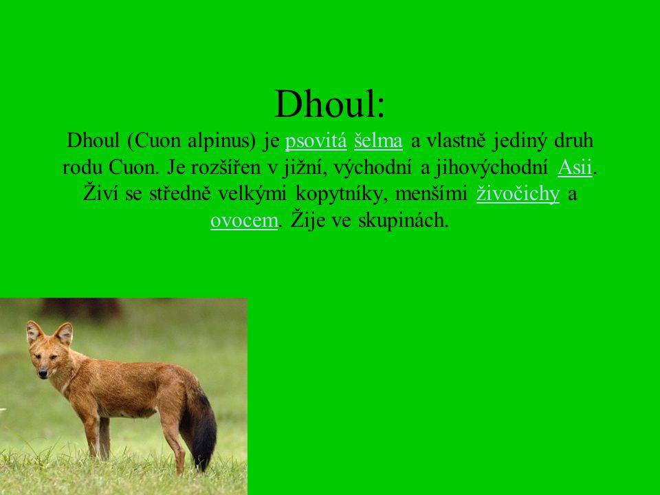 Dhoul: Dhoul (Cuon alpinus) je psovitá šelma a vlastně jediný druh rodu Cuon. Je rozšířen v jižní, východní a jihovýchodní Asii. Živí se středně velký