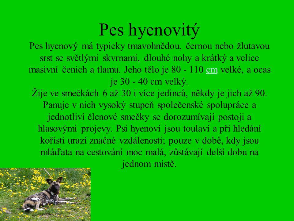 Pes hyenovitý Pes hyenový má typicky tmavohnědou, černou nebo žlutavou srst se světlými skvrnami, dlouhé nohy a krátký a velice masivní čenich a tlamu