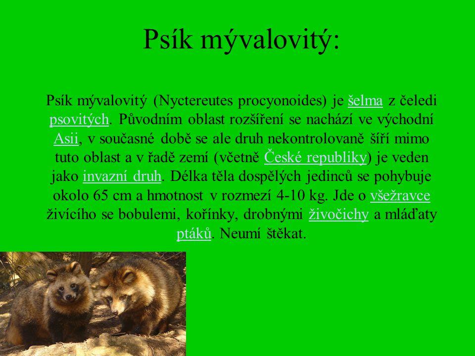 Psík mývalovitý: Psík mývalovitý (Nyctereutes procyonoides) je šelma z čeledi psovitých. Původním oblast rozšíření se nachází ve východní Asii, v souč