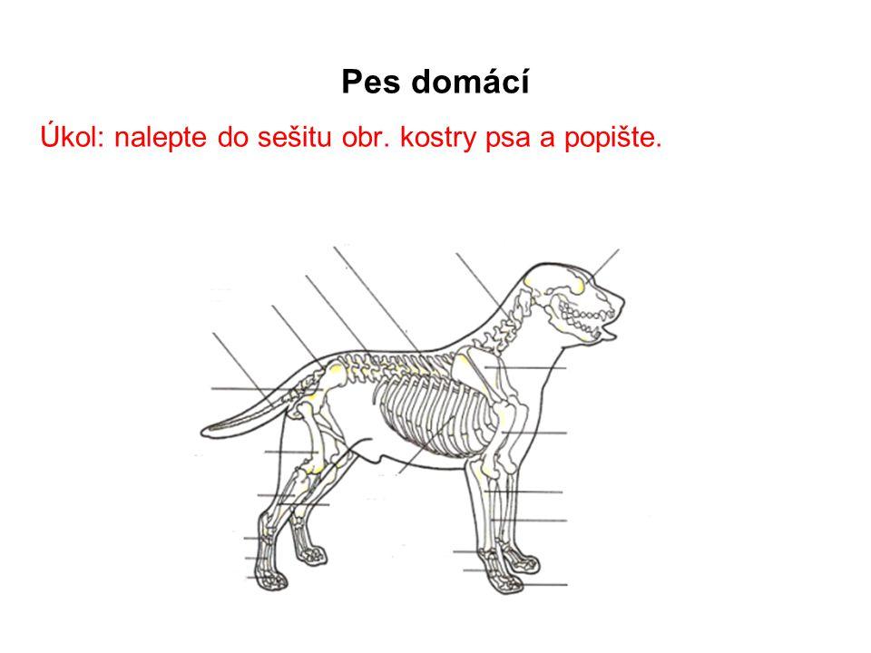 Pes domácí Úkol: nalepte do sešitu obr. kostry psa a popište.