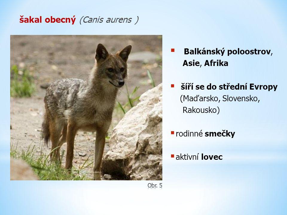 šakal obecný (Canis aurens )  Balkánský poloostrov, Asie, Afrika  šíří se do střední Evropy (Maďarsko, Slovensko, Rakousko)  rodinné smečky  aktiv