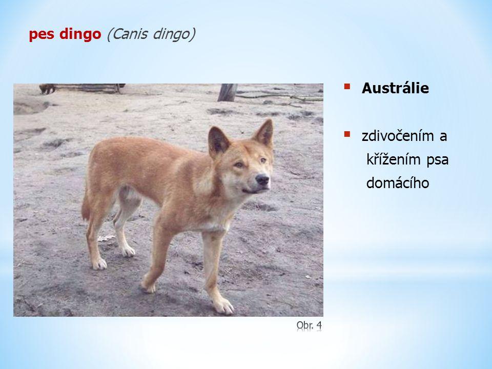 pes dingo (Canis dingo)  Austrálie  zdivočením a křížením psa domácího