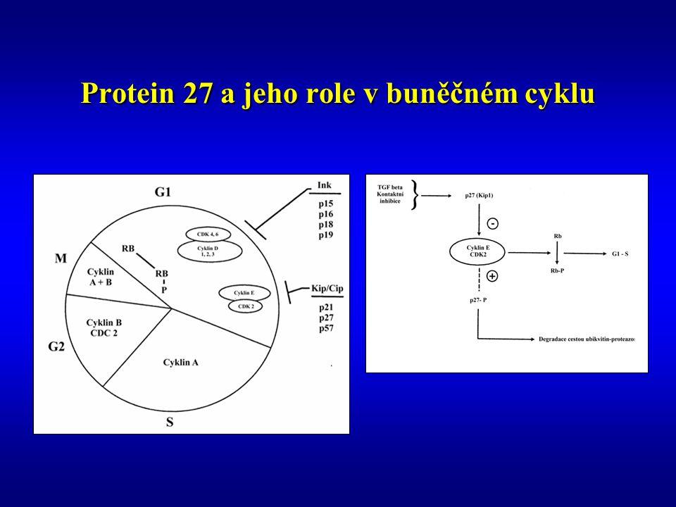 Protein 27 a jeho role v buněčném cyklu