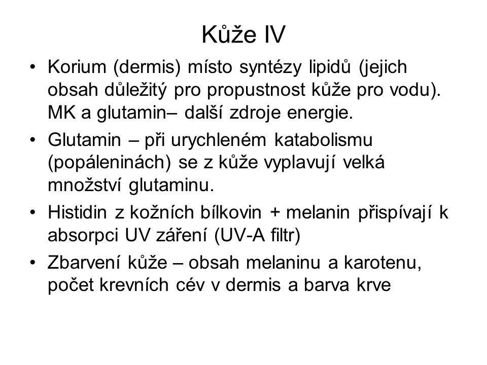 Kůže IV Korium (dermis) místo syntézy lipidů (jejich obsah důležitý pro propustnost kůže pro vodu). MK a glutamin– další zdroje energie. Glutamin – př