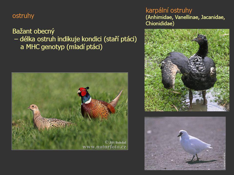 ostruhy Bažant obecný – délka ostruh indikuje kondici (staří ptáci) a MHC genotyp (mladí ptáci) karpální ostruhy (Anhimidae, Vanellinae, Jacanidae, Ch