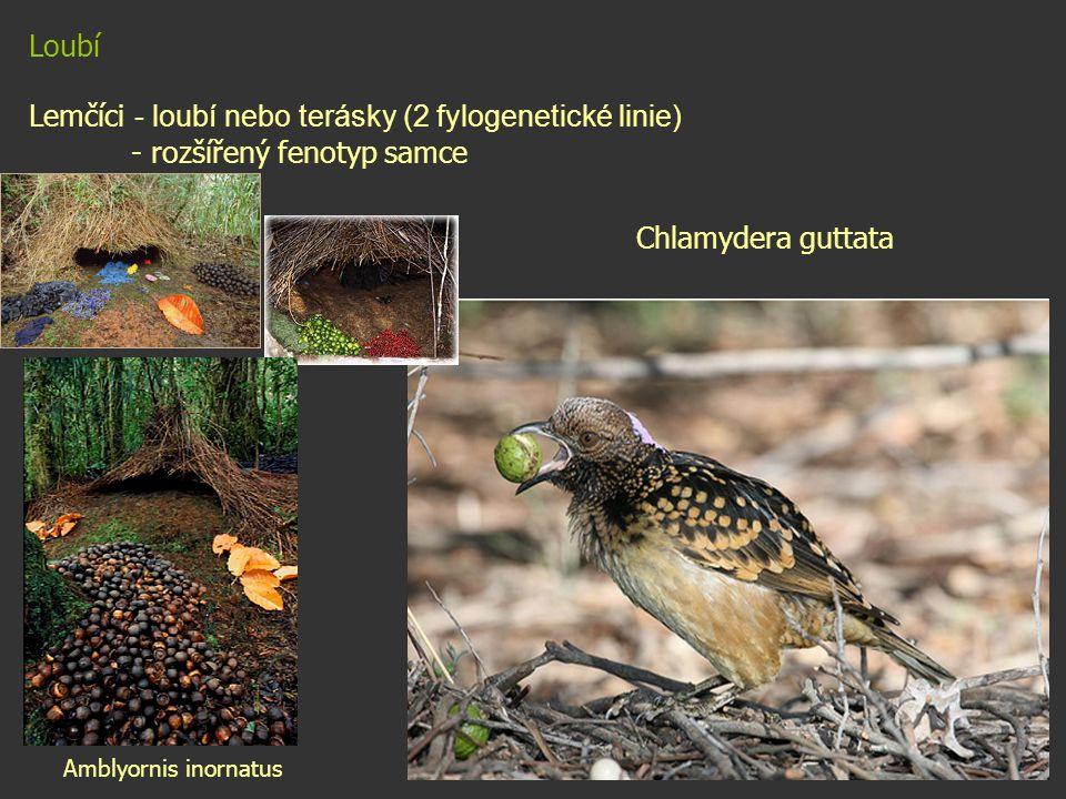 Loubí Lemčíci - loubí nebo terásky (2 fylogenetické linie) - rozšířený fenotyp samce Chlamydera guttata Amblyornis inornatus