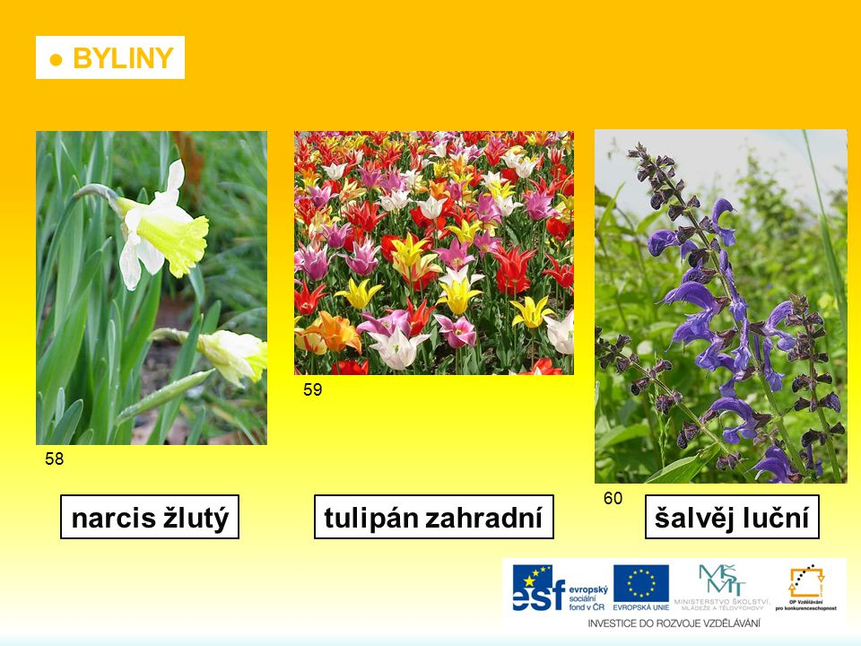 narcis žlutýtulipán zahradníšalvěj luční ● BYLINY 58 59 60