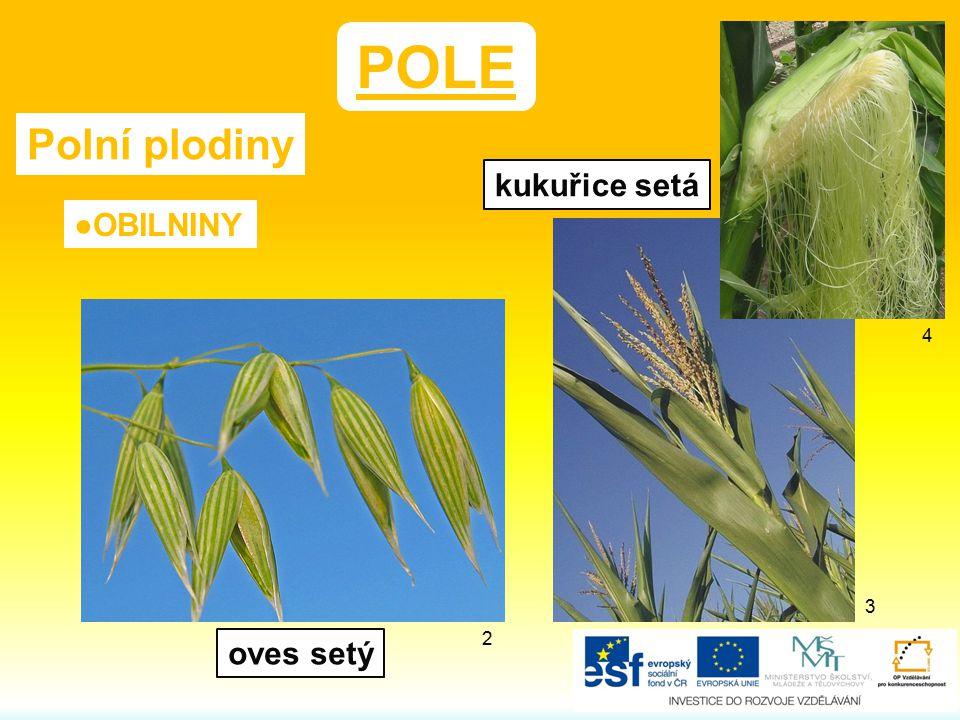 POLE Polní plodiny ●OBILNINY kukuřice setá oves setý 2 4 3