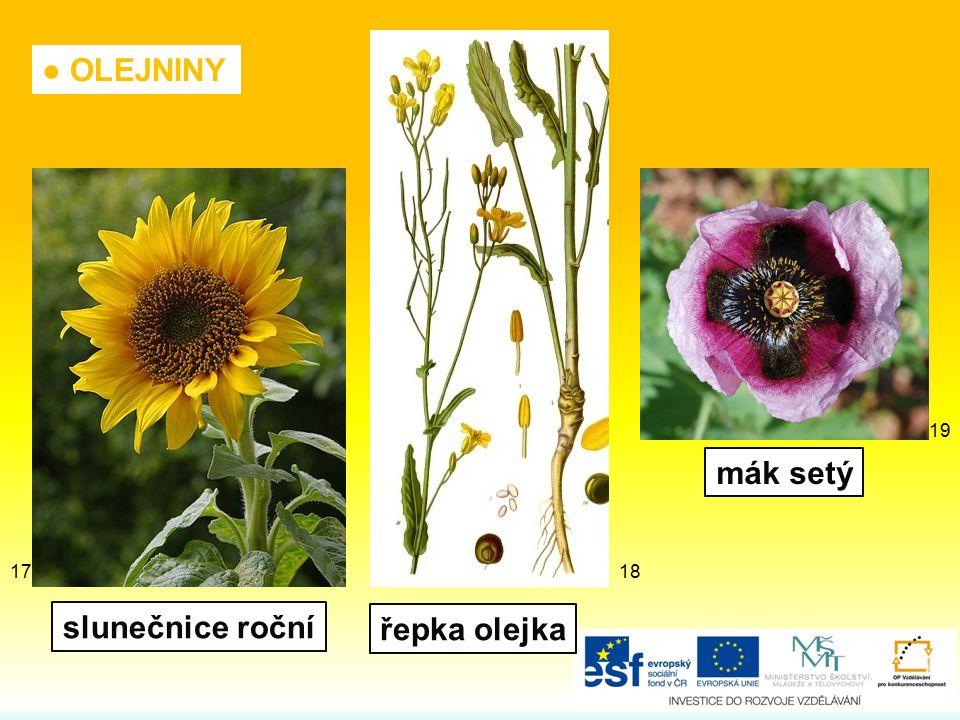 ● OLEJNINY řepka olejka mák setý slunečnice roční 19 1817