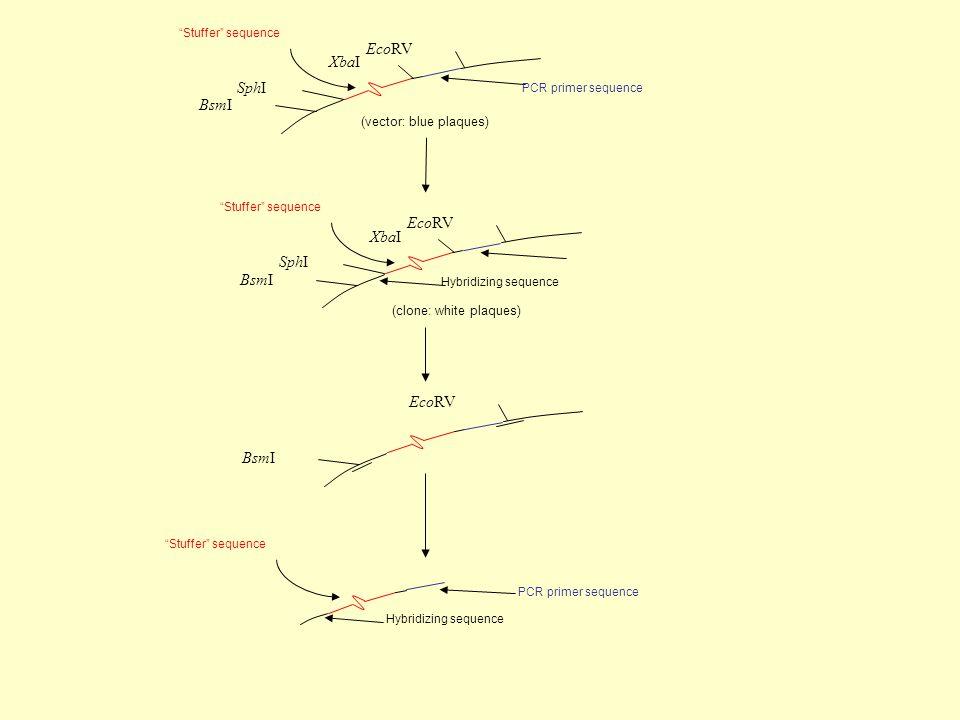EcoRV SphI XbaI BsmI Stuffer sequence PCR primer sequence (vector: blue plaques) EcoRV SphI XbaI BsmI Stuffer sequence (clone: white plaques) EcoRV BsmI Hybridizing sequence Stuffer sequence Hybridizing sequence PCR primer sequence