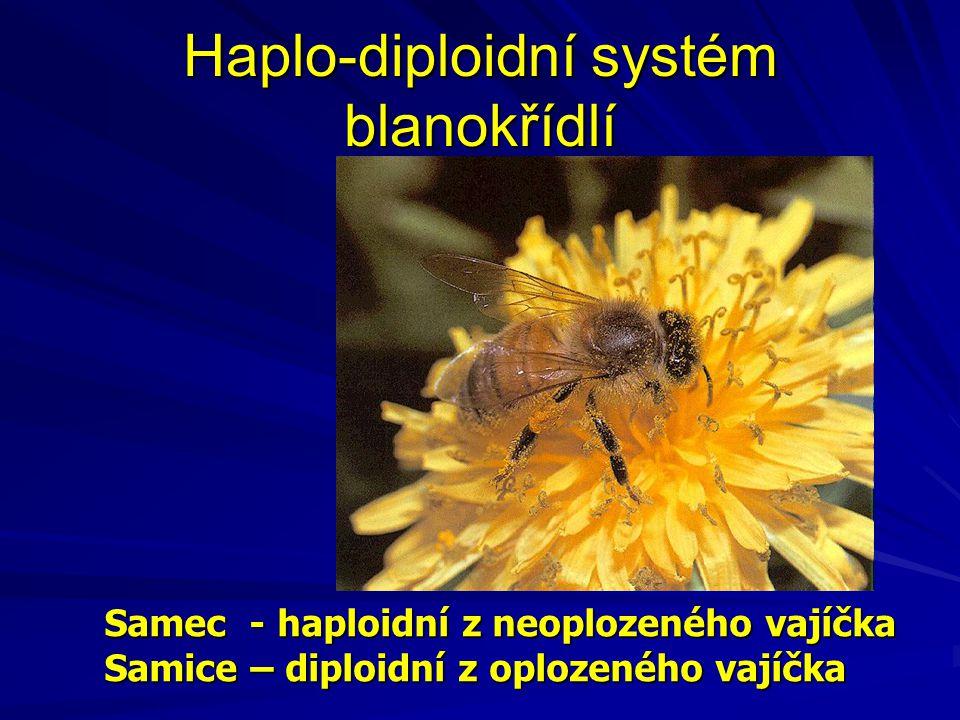 Haplo-diploidní systém blanokřídlí Samec - haploidní z neoplozeného vajíčka Samice – diploidní z oplozeného vajíčka