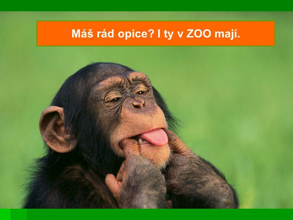 Máš rád opice? I ty v ZOO mají.