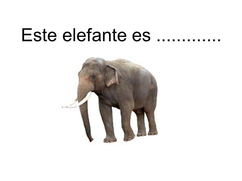 Este elefante es.............