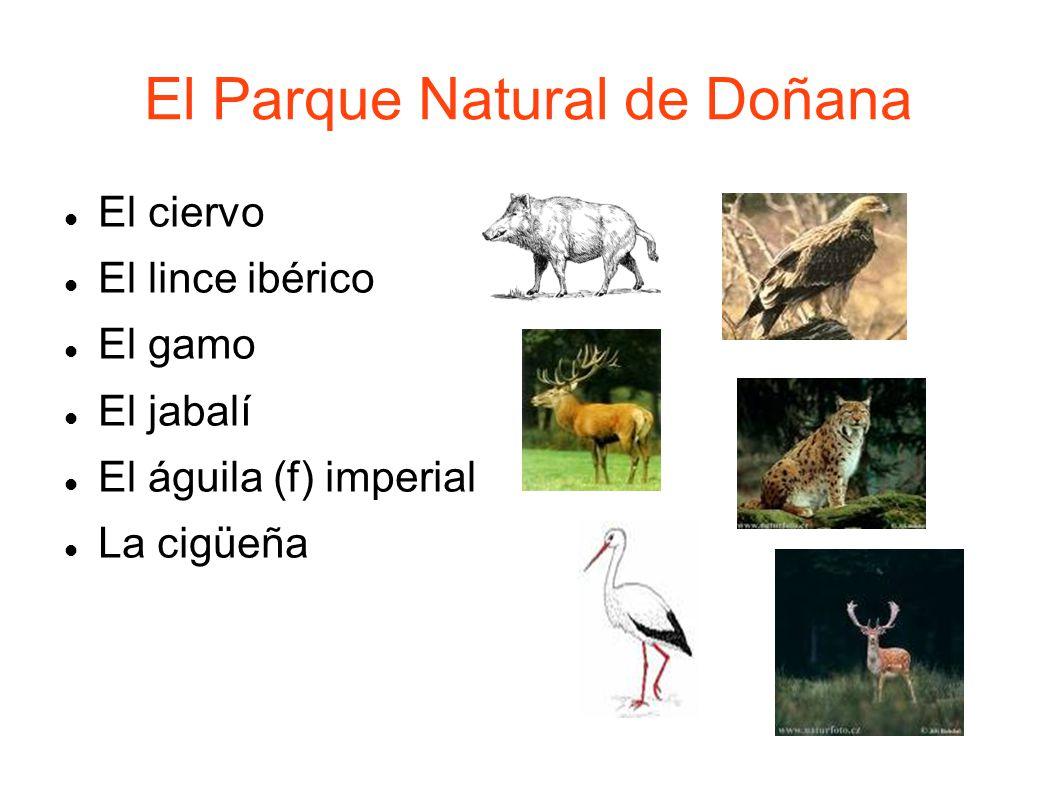 El Parque Natural de Doñana El ciervo El lince ibérico El gamo El jabalí El águila (f) imperial La cigüeña