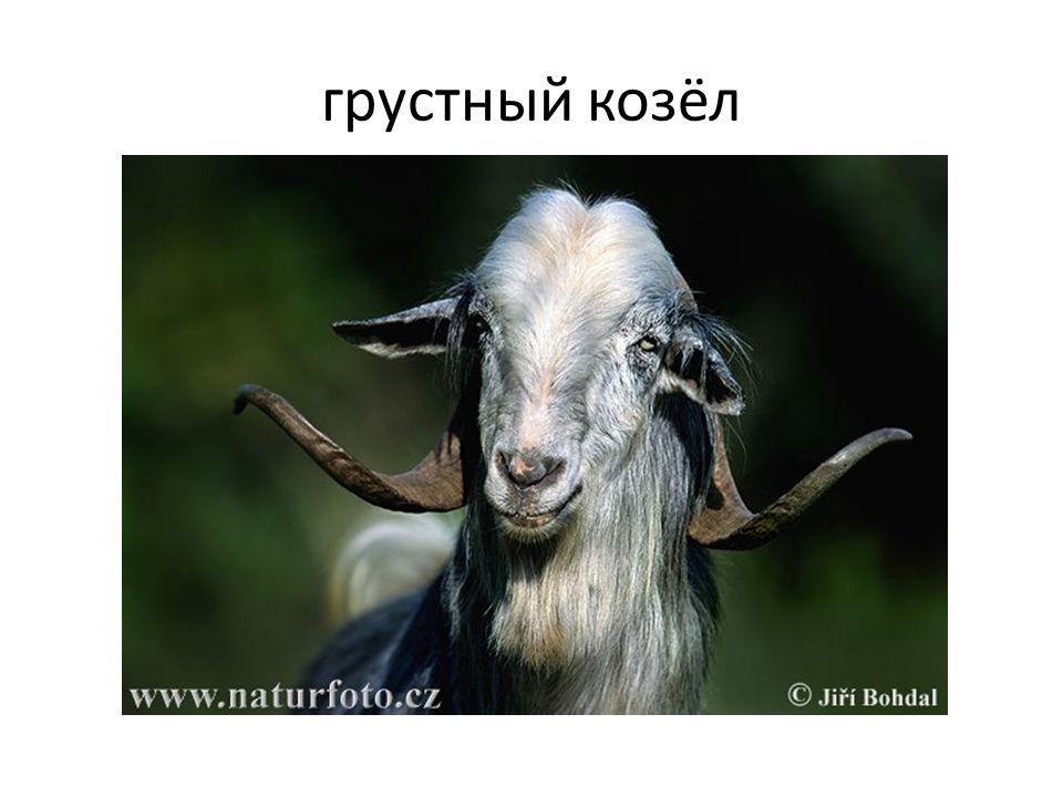 грустный козёл