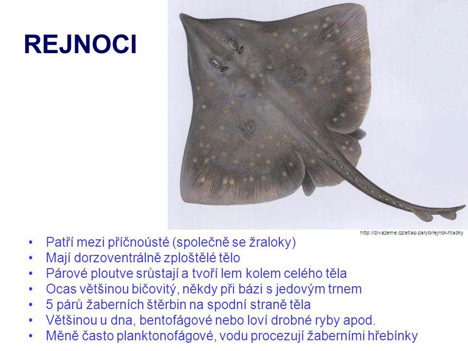 Patří mezi příčnoústé (společně se žraloky) Mají dorzoventrálně zploštělé tělo Párové ploutve srůstají a tvoří lem kolem celého těla Ocas většinou bič