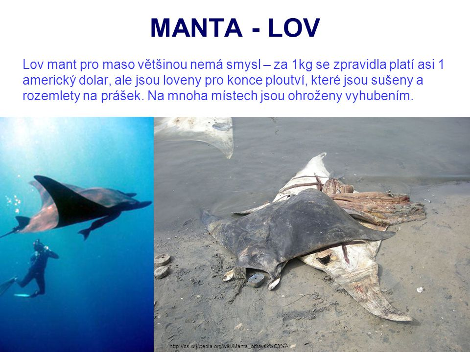 MANTA - LOV Lov mant pro maso většinou nemá smysl – za 1kg se zpravidla platí asi 1 americký dolar, ale jsou loveny pro konce ploutví, které jsou suše