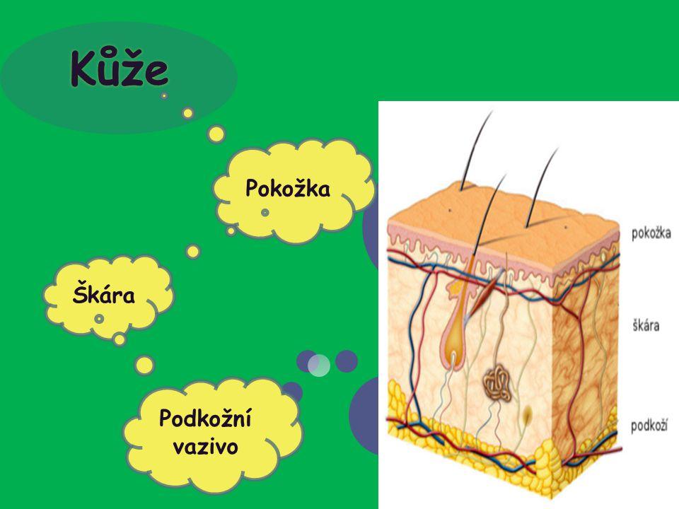 POKOŽKA (epidermis) Vrstva rohová Stratum corneum Vrstva světlá Stratum luciadum Vrstva zrnitá Stratum granulosum Vrstva ostnitá Stratum spinosum Vrstva základní Stratum basale