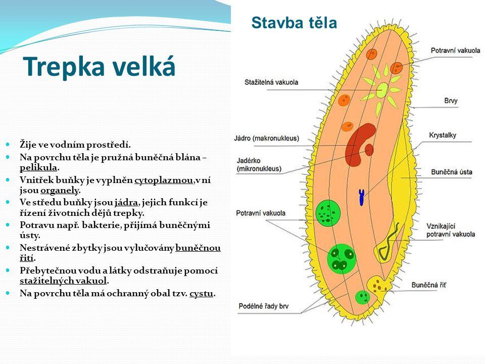 Trepka velká Žije ve vodním prostředí.Na povrchu těla je pružná buněčná blána – pelikula.