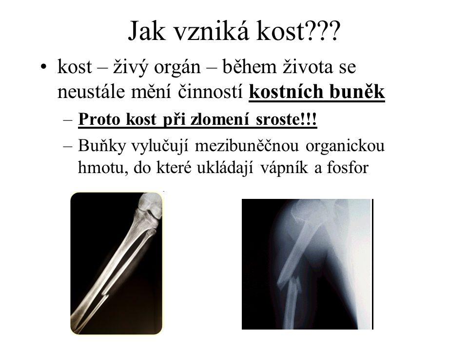 Jak vzniká kost??? kost – živý orgán – během života se neustále mění činností kostních buněk –Proto kost při zlomení sroste!!! –Buňky vylučují mezibun