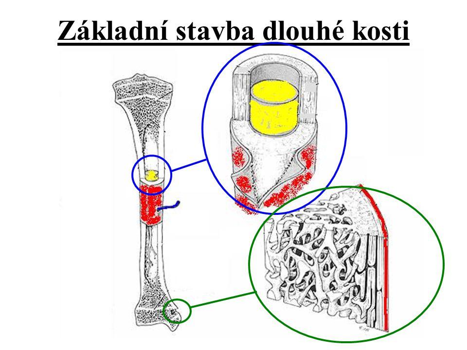 Dělí se podle umístění a funkce v kosti!!.
