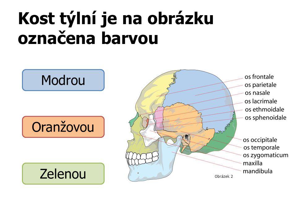 Kost týlní je na obrázku označena barvou Modrou Oranžovou Zelenou Obrázek 2