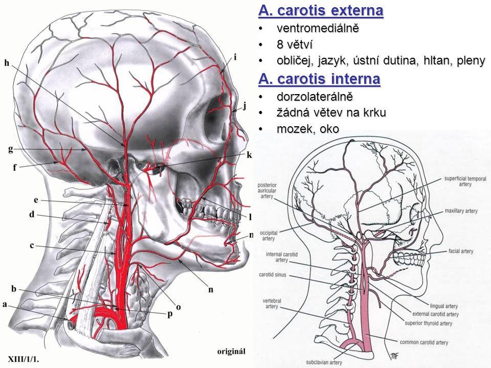 A. carotis externa ventromediálněventromediálně 8 větví8 větví obličej, jazyk, ústní dutina, hltan, plenyobličej, jazyk, ústní dutina, hltan, pleny A.