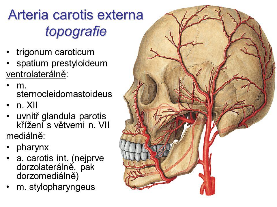 Arteria carotis externa topografie trigonum caroticum spatium prestyloideum ventrolaterálně: m. sternocleidomastoideus n. XII uvnitř glandula parotis