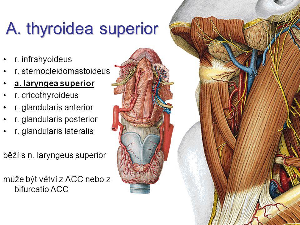A. thyroidea superior r. infrahyoideus r. sternocleidomastoideus a. laryngea superior r. cricothyroideus r. glandularis anterior r. glandularis poster