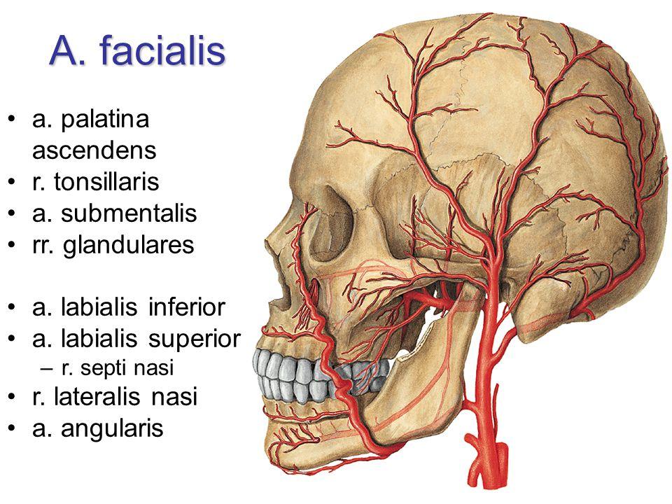 A. facialis a. palatina ascendens r. tonsillaris a. submentalis rr. glandulares a. labialis inferior a. labialis superior –r. septi nasi r. lateralis