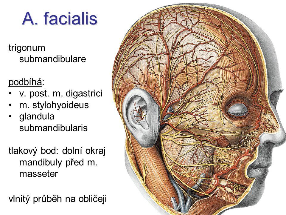 A. facialis trigonum submandibulare podbíhá: v. post. m. digastrici m. stylohyoideus glandula submandibularis tlakový bod: dolní okraj mandibuly před