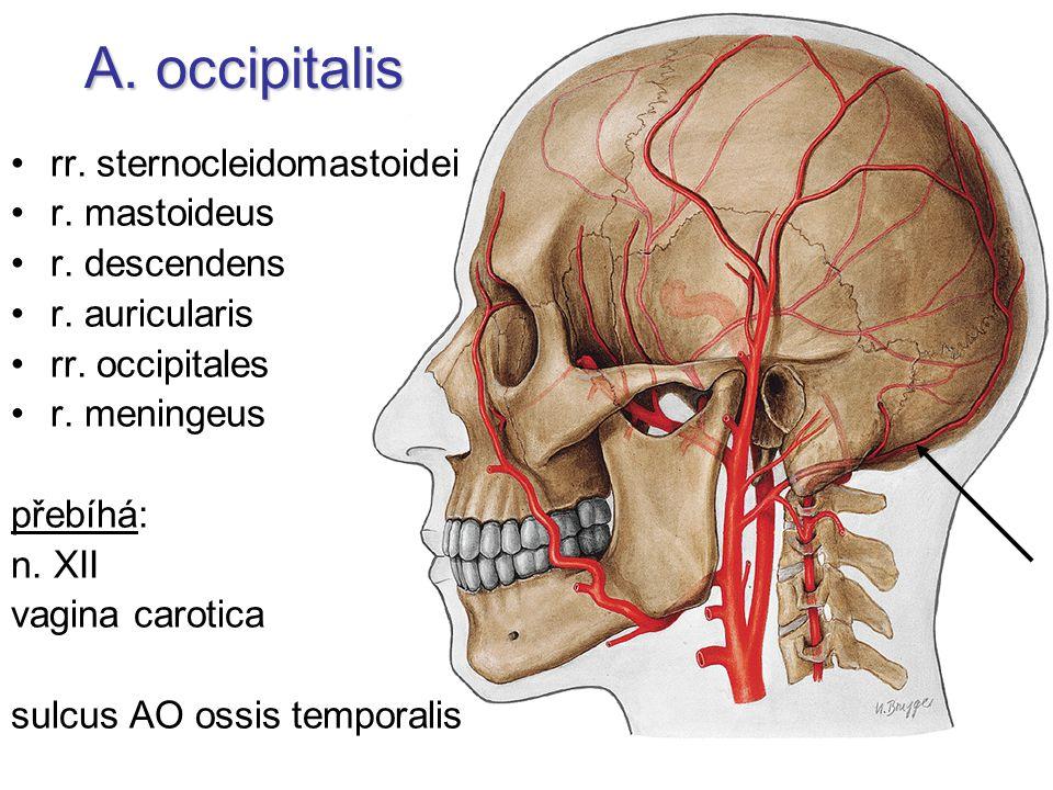 A. occipitalis rr. sternocleidomastoidei r. mastoideus r. descendens r. auricularis rr. occipitales r. meningeus přebíhá: n. XII vagina carotica sulcu