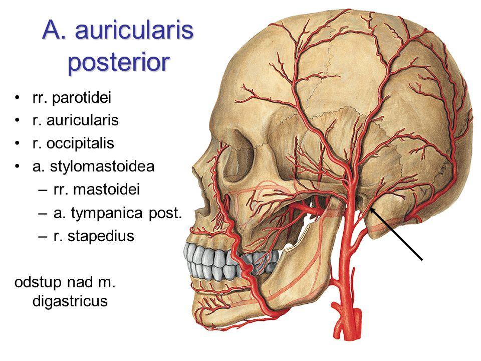A. auricularis posterior rr. parotidei r. auricularis r. occipitalis a. stylomastoidea –rr. mastoidei –a. tympanica post. –r. stapedius odstup nad m.