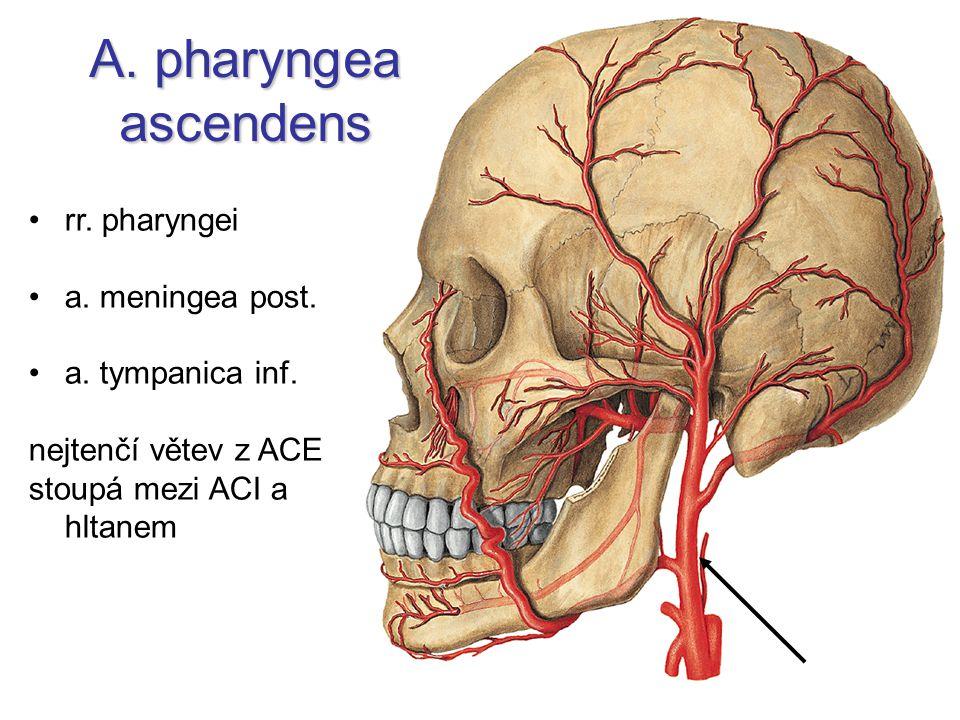 A. pharyngea ascendens rr. pharyngei a. meningea post. a. tympanica inf. nejtenčí větev z ACE stoupá mezi ACI a hltanem