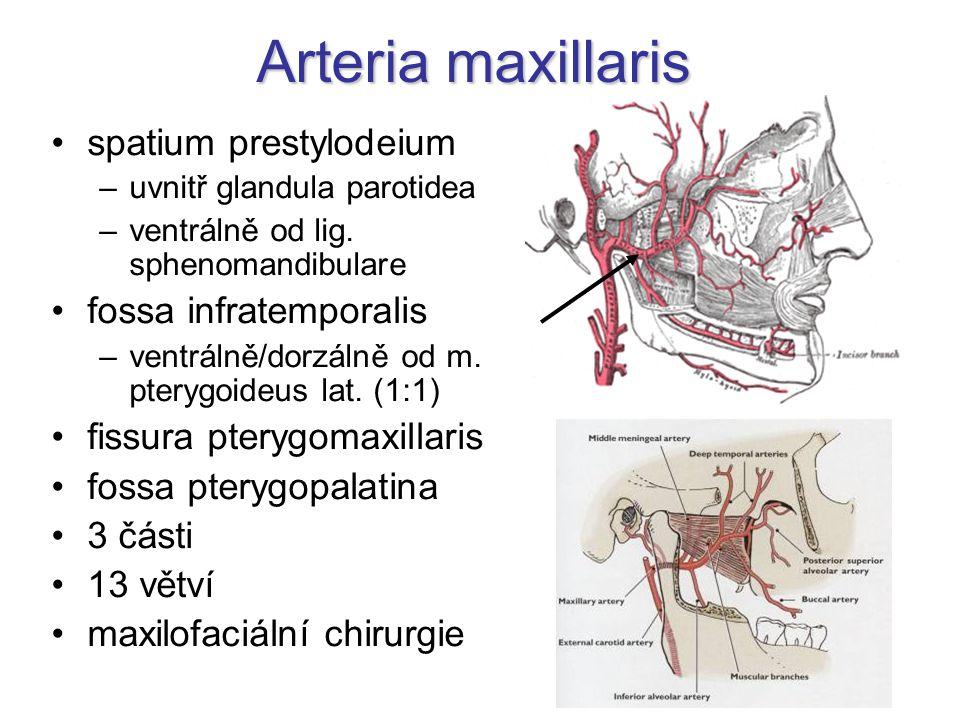 Arteria maxillaris spatium prestylodeium –uvnitř glandula parotidea –ventrálně od lig. sphenomandibulare fossa infratemporalis –ventrálně/dorzálně od