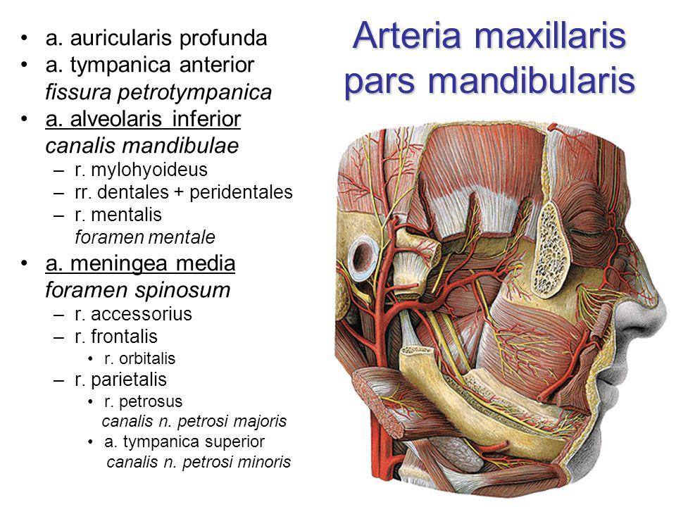 Arteria maxillaris pars mandibularis a. auricularis profunda a. tympanica anterior fissura petrotympanica a. alveolaris inferior canalis mandibulae –r