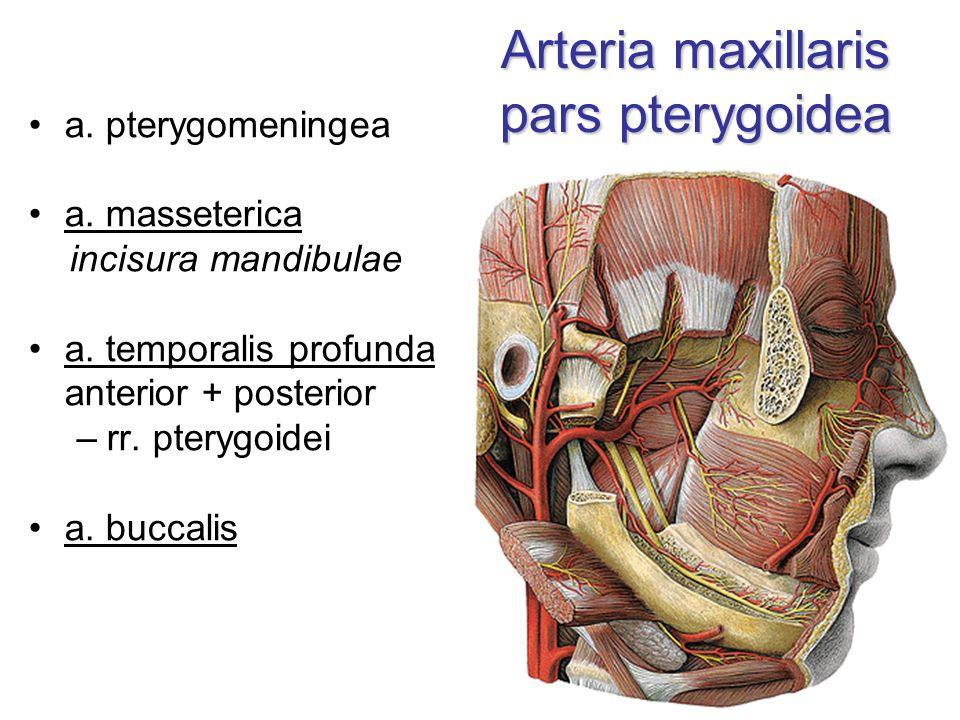 Arteria maxillaris pars pterygoidea a. pterygomeningea a. masseterica incisura mandibulae a. temporalis profunda anterior + posterior –rr. pterygoidei